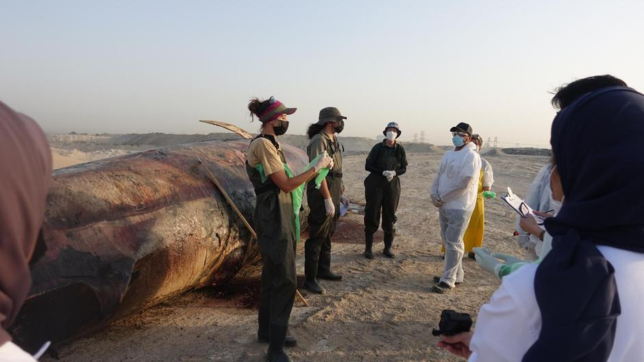 Huge whale: The whale carcass was found off the coast of Dubai. Sharjah Environment and Protected Areas Authority